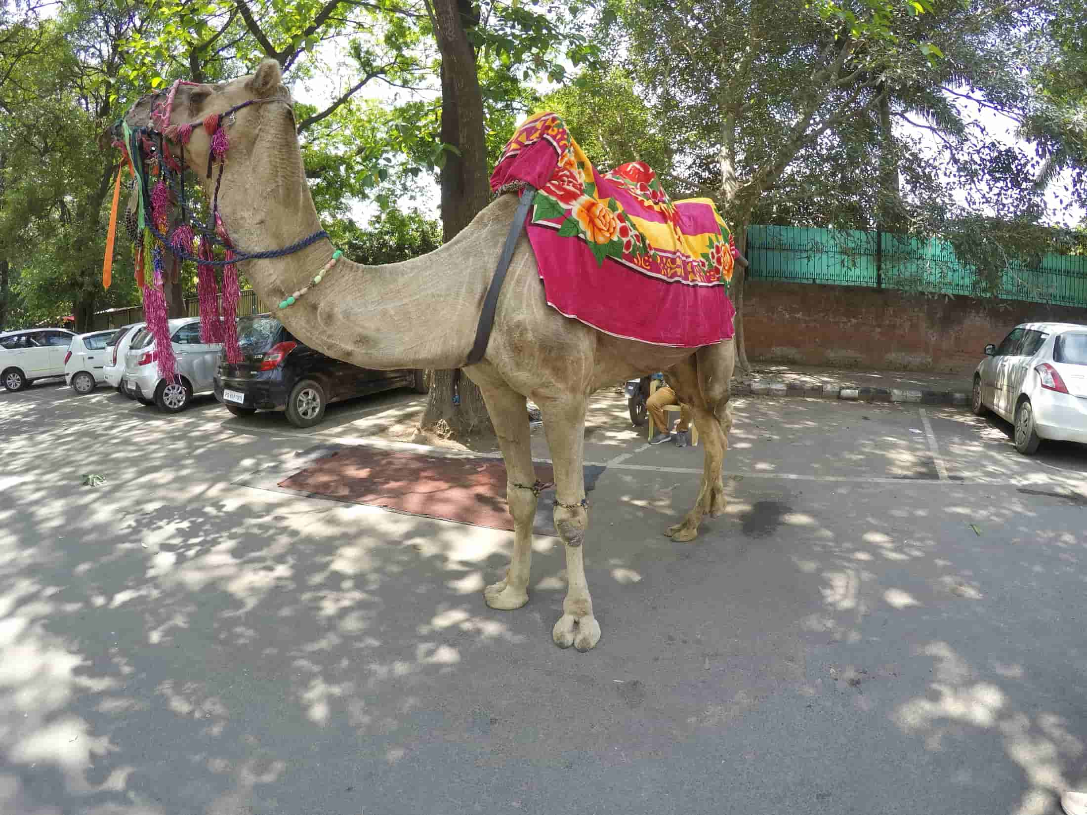 Camel ride on Chandigarh Heritage Bicycle Tour